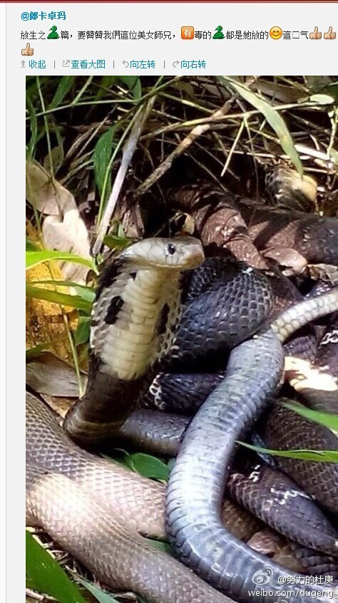 guangdong-chinese-woman-releases-poisonous-snakes-says-doing-good-02