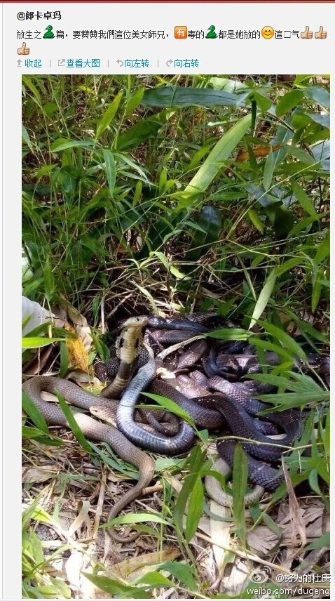 guangdong-chinese-woman-releases-poisonous-snakes-says-doing-good-06
