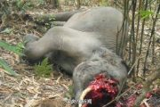elephant-tusk-slaughter-trade-07