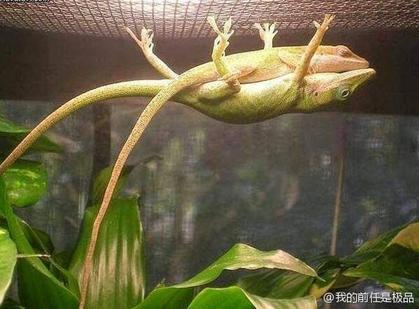 A lizard hangs suspended from the top of a cage while another lizard rests on top of it.