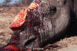 A slaughtered rhinoceros with its horn cut off.