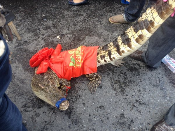 china-changsha-crabs-alligator-spilled-in-traffic-accident-looted-by-chinese-passerbys-15