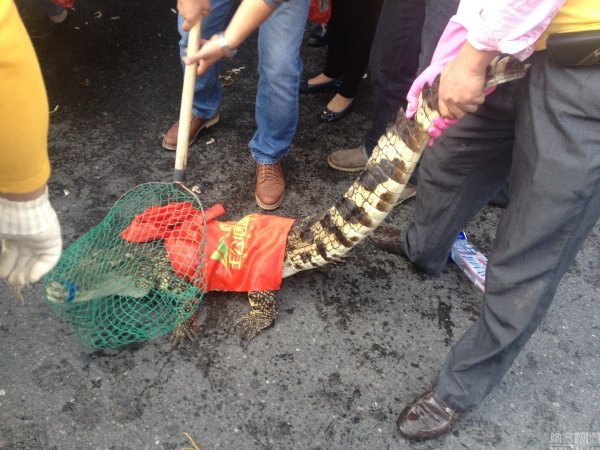 china-changsha-crabs-alligator-spilled-in-traffic-accident-looted-by-chinese-passerbys-16