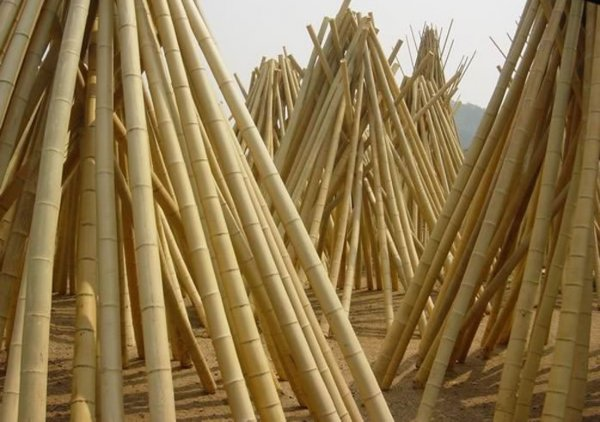 Moso bamboo, photo for illustration only.