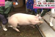 japanese-tv-show-has-schoolchildren-raise-two-pigs-that-is-then-butchered-01