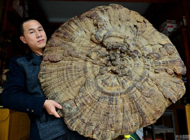 A giant mushroom found in Hezhou, Guangxi, China.