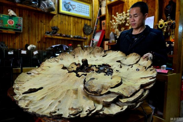 china-guangxi-hezhou-giant-mushroom-found-03