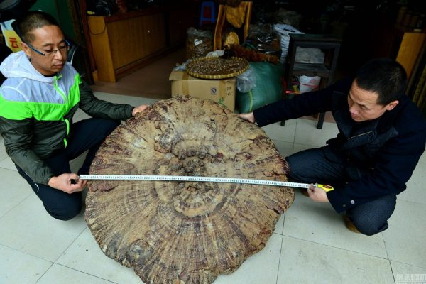 china-guangxi-hezhou-giant-mushroom-found-04