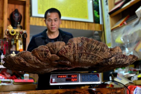 china-guangxi-hezhou-giant-mushroom-found-05