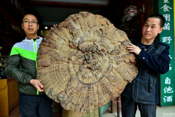 china-guangxi-hezhou-giant-mushroom-found-06
