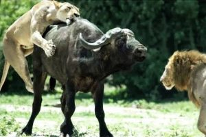 A lion and lioness in the middle of a catching and killing prey.