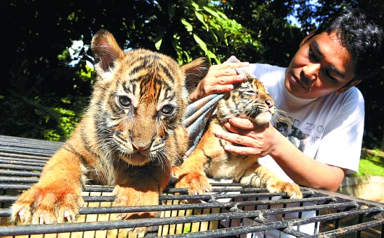 Man Sentenced to 11 Years For Buying Manchurian Tiger