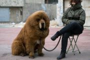No-Longer-Fashionable Tibetan Mastiffs More Useful For Hotpot
