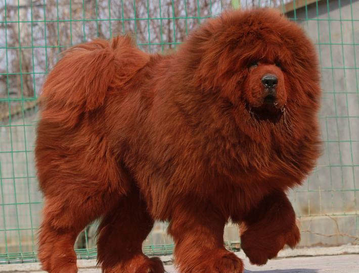 Tibetan-Mastiff.jpg