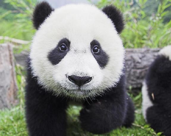 Farmers accidentally kill panda, many in custody
