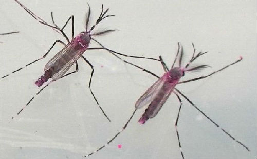 Sterile Mosquitoes Released in Guangzhou to Fight Dengue Fever