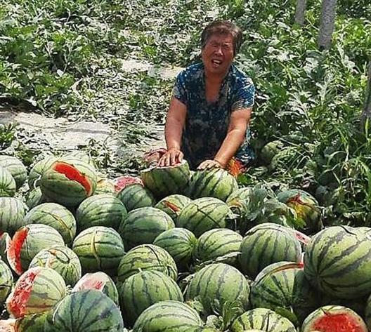 Vandals Destroy 90 percent of Poor Family's Watermelon Crop
