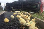 Chicken Transportation Truck Tips Over, Chickens Stolen