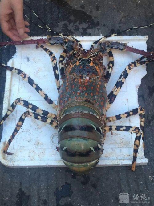 Enormous Lobster Caught, Not Yet Sold