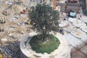 4 Million RMB Spent On Protecting Tree During City Rebuild